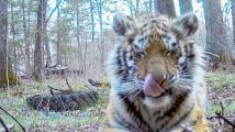 Tygří mládě hledalo pomoc u lidí