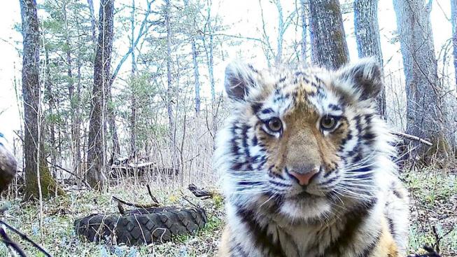 Opuštěné tygří miminko hledalo pomoc u lidí