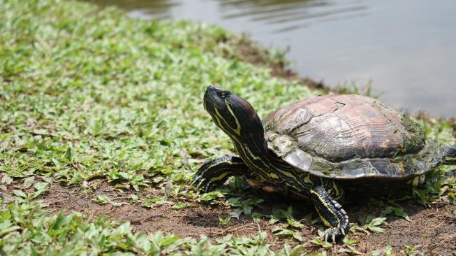 Želva nádherná - predátor, kterého čeští chovatelé milují