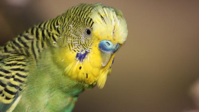 Jak naučit papouška mluvit