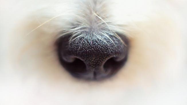 """Psi můžou čumákem """"vyčenichat"""" teplo"""