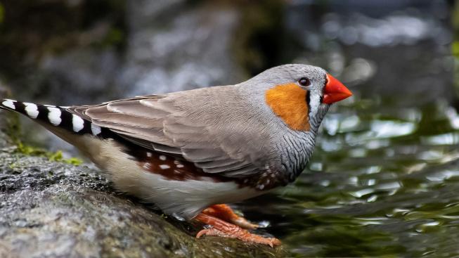Zebřička pestrá: Základy chovu nenáročného a velmi oblíbeného ptáčka
