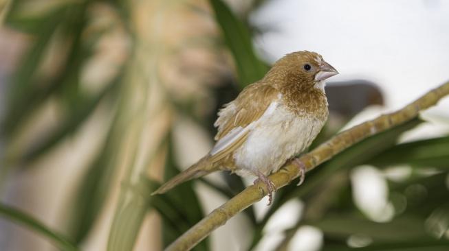 Chůvička japonská - drobný ptáček vhodný i pro začátečníky