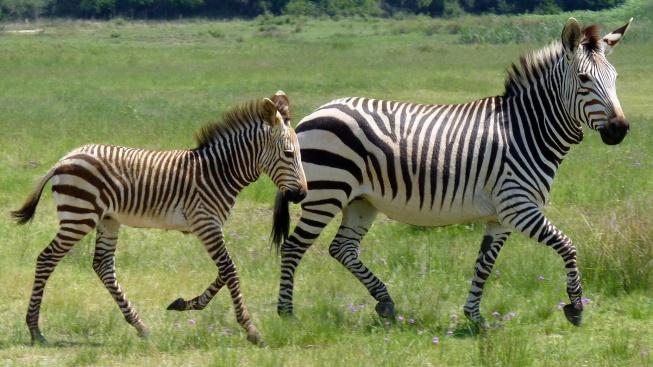 Proč zebry nebyly nikdy domestikovány?