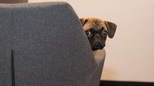 Proč mají psi svěšené uši, ptají se vědci