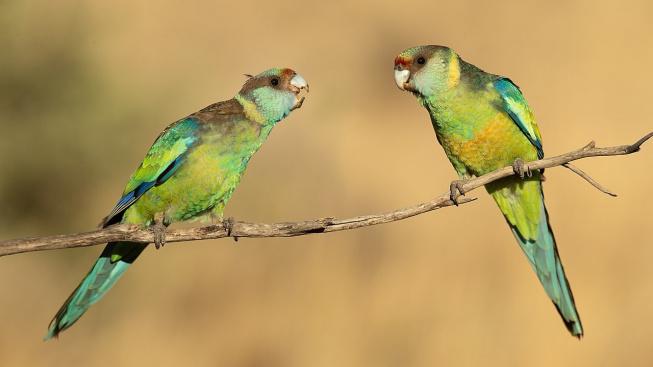 Barnard límcový - nenáročný, ale hlavně tichý papoušek