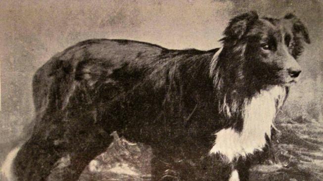 Old Hemp, společný předek všech border kolií