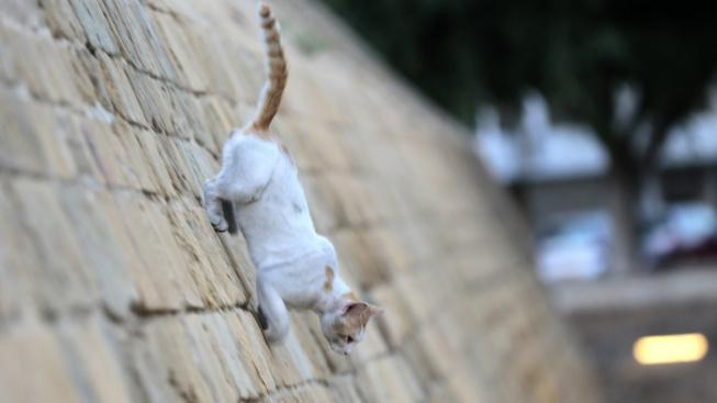 Kyperské kočky a plemeno afrodita