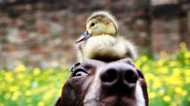 Přátelství psa a kachňátka