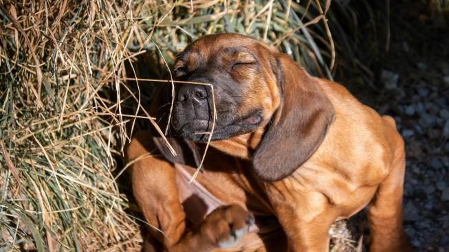 Jak poznáte, že váš pes trpí alergií?