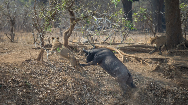 Z kořisti lovcem! Buvol pořádně prohnal lvici, která se ho pokusila ulovit