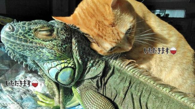 Podivné přátelství kočky a leguána