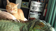 Přátelství leguána a kočky