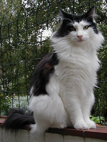 362px-Norwegian_forest_cat