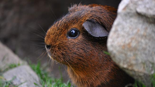 Genetici poodhalili střípky informací o společné historii lidí a morčat