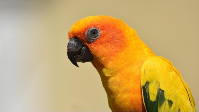 Aratinga sluneční, opeřený symbol Jižní Ameriky