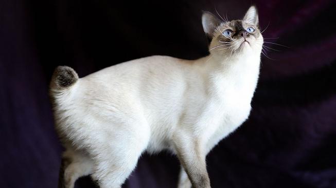 Mekong bobtail – ruská kočka s jihoasijským jménem