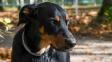 Beauceron - oddaný hlídač a bodyguard rodiny