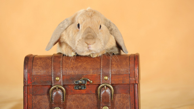 Jak cestovat s králíkem?