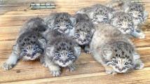 Manulí koťátka