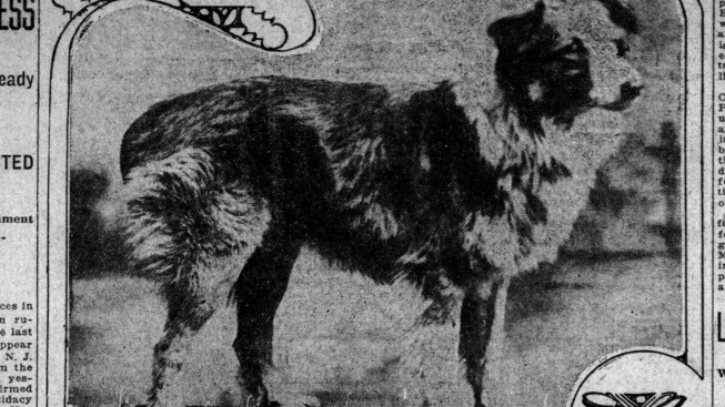 Zázračný psí cestovatel Bobbie: Za svou rodinou putoval 4000 kilometrů
