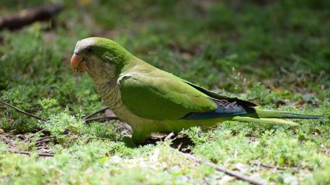 Mníšek šedý: Hravý papoušek, který s vámi bude půlku života