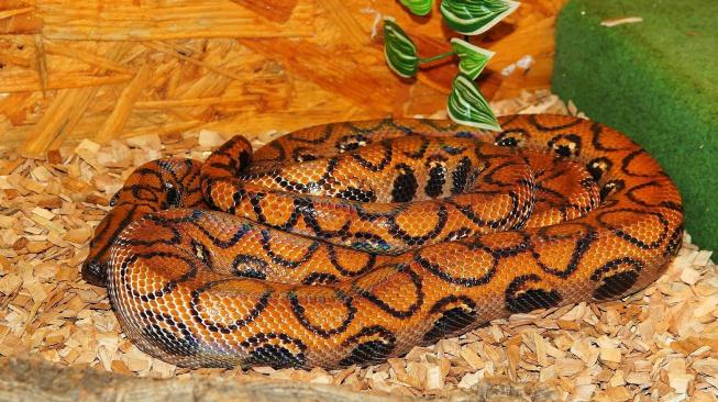 Hroznýšovec duhový - hadí mazel, kterého zvládne i začátečník
