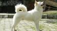 Kintamani - vzácný pes z Bali, kterého jen tak nepotkáte. Zatím