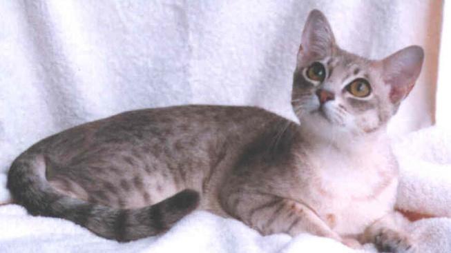 Vůbec první registrované kočičí plemeno z Austrálie