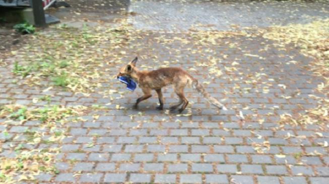 Chycena přímo při činu! Liška ukradla přes 100 párů bot
