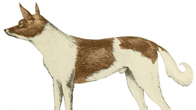 Vyhynulý yagánský pes - nepříliš úspěšný pokus udělat 'psa' z lišky