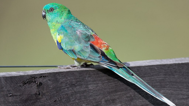 Papoušek zpěvavý je nenáročný, ale mazlit se moc nenechá