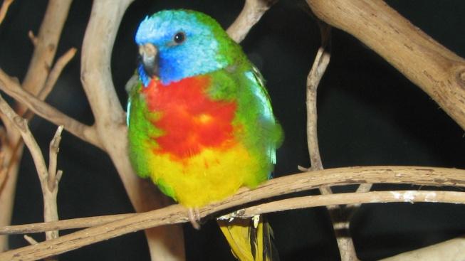 Neoféma modrohlavá, nejkrásnější z krásných papoušků