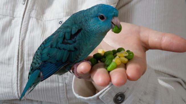 Aymara pruhovaný – ideální papoušek do bytu