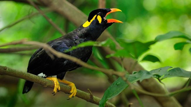 Loskuták posvátný: Pták, který dokáže recitovat verše