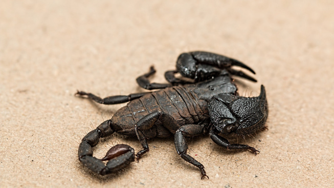 scorpion-1001742_1920