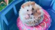 Roztomilý ježek na internetu rozněžňuje tisíce fanoušků