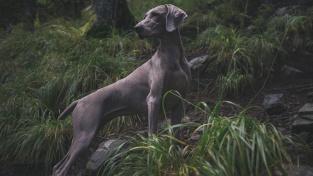 Studii vědci prováděli s loveckými psy, ti orientaci v nepřehledném terénu potřebují nejčastěji