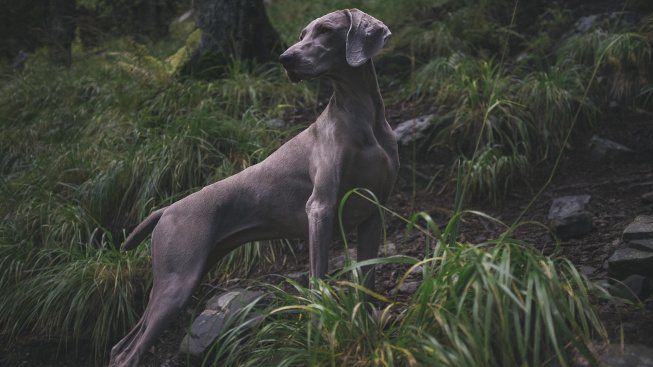 Psi umí najít cestu domů díky magnetickému poli Země