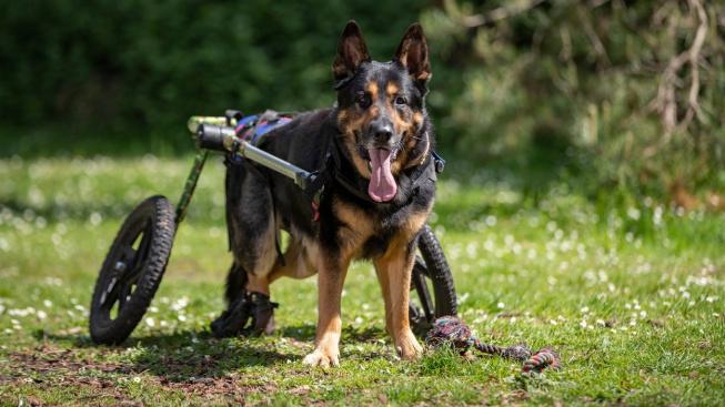 Degenerativní myelopatie, opomíjená příčina ochrnutí u psů