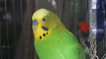 Ptáci vhodní do bytu