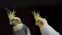 Ptáci vhodní k bytovému chovu