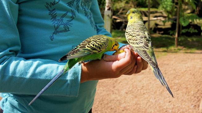 Běžné potraviny, které mohou otrávit papouška I.