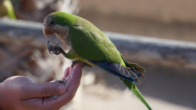 Běžné potraviny, které mohou otrávit papouška II.