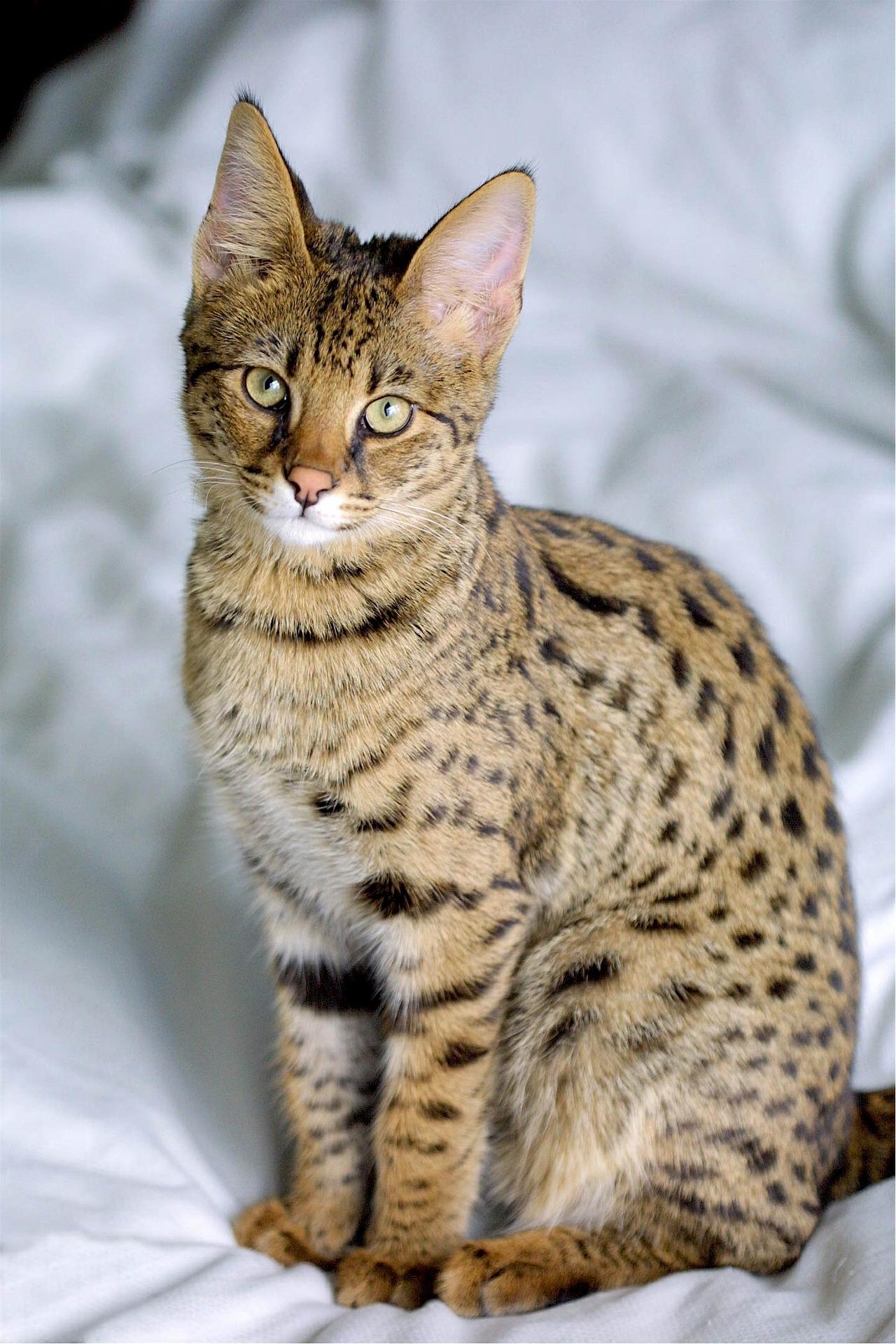 10 dlouhověkých plemen koček