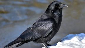 common-raven-3184260_1920