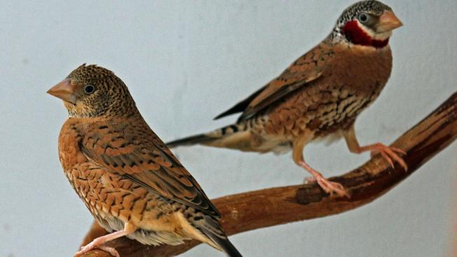 Amadina páskovaná - rozpustilý, veselý ptáček s pěkným hlasem