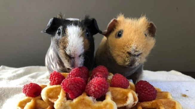 Co dnes slavíme? Dvojice morčat vždy ví!