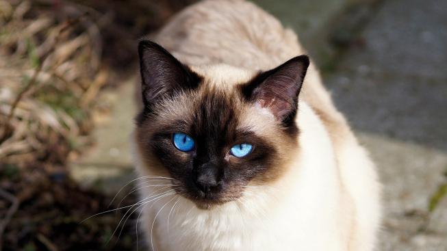 Siamská kočka, elegantní královna (nejen) mezi asijskými kočkami