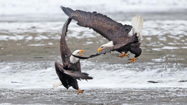 Epický orlí souboj! Když jde o kořist, neznají bratra